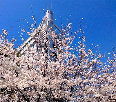 静岡市 桜