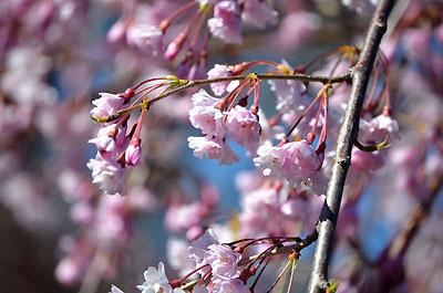 桜が見頃を迎えるシーズンになりました!